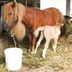 ponija